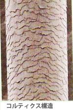 コルテックス構造