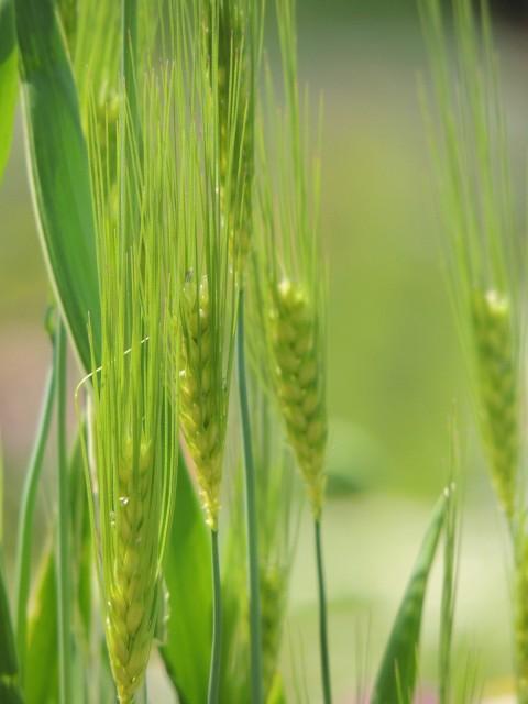 ダッチー小麦画像