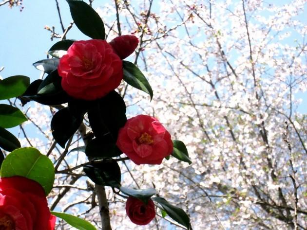 ツバキ花画像
