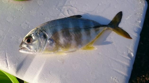 「さびき」アジ・イワシなど幼魚が釣れる