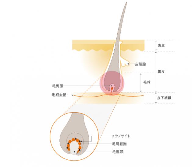 頭皮の構造画像