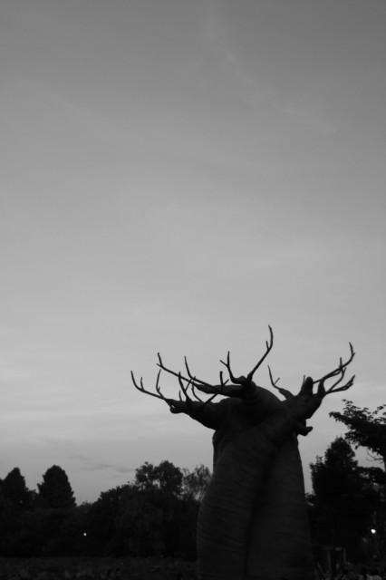 バオハブ木画像