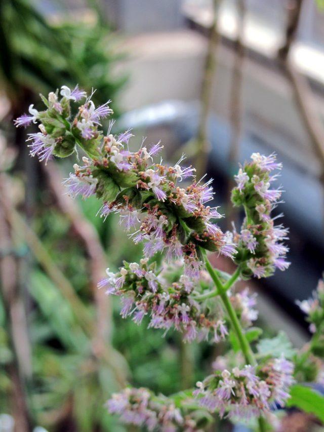 インドで自生する植物「ミソハギ科」