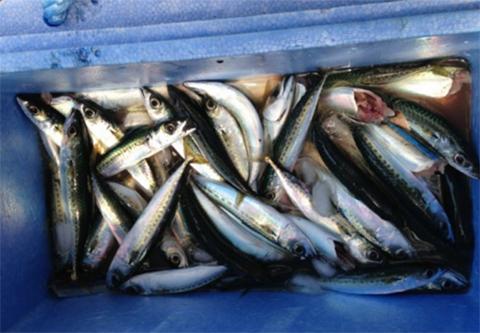 館山の魚は不漁